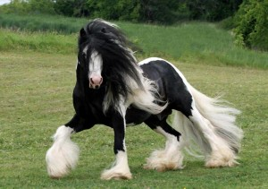 Black Tobiano Gypsy