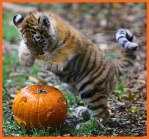 HalloweenTiger