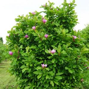 MagnoliaAnn