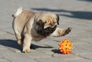 Pug-playing-with-ball