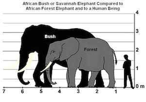 bush_v_forest-elephant
