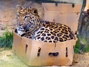 leopardinbox