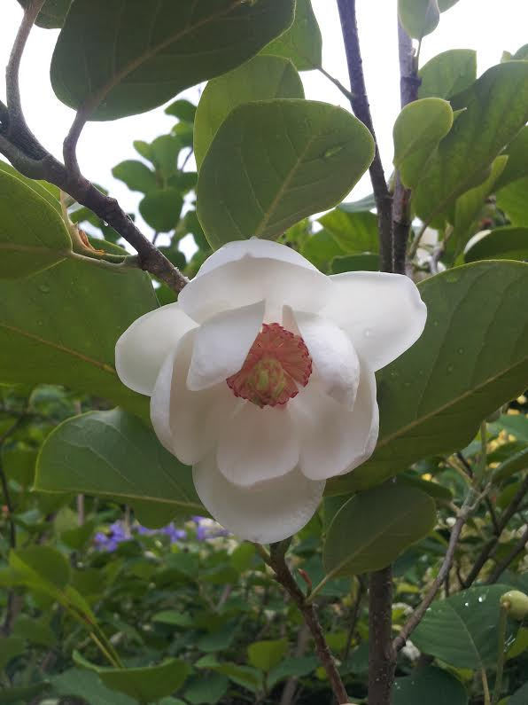 How To Grow Spring Flowering Magnolias Rachel Neumeier