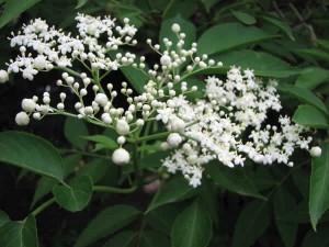 Sambucus-canadensis-Elderberry-flower