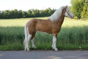 Splashed white palomino Icelandic