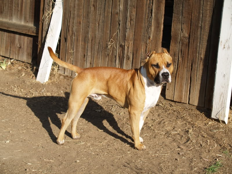Are Bully Springs Good For Dogs