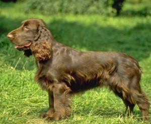 field-spaniel-dog-side-view-photo